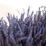 A lavender scented wedding